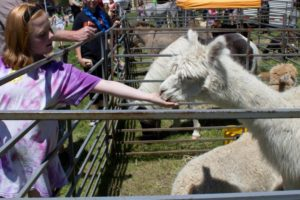 girl feeding llama at 3rd annual community celebration
